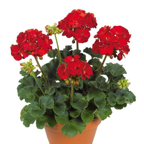 Geranie stehend, Rot- Pelargonium zonale Bild 1