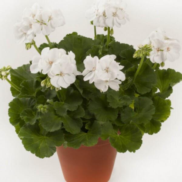 Geranie stehend, Weiß - Pelargonium zonale Bild 1