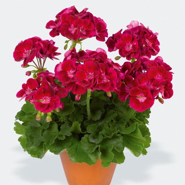 Geranie stehend, Violet - Pelargonium Flower Bild 1