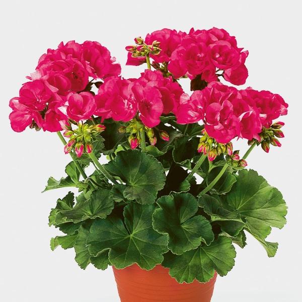 Geranie stehend, Pink - Pelargonium zonale Bild 1