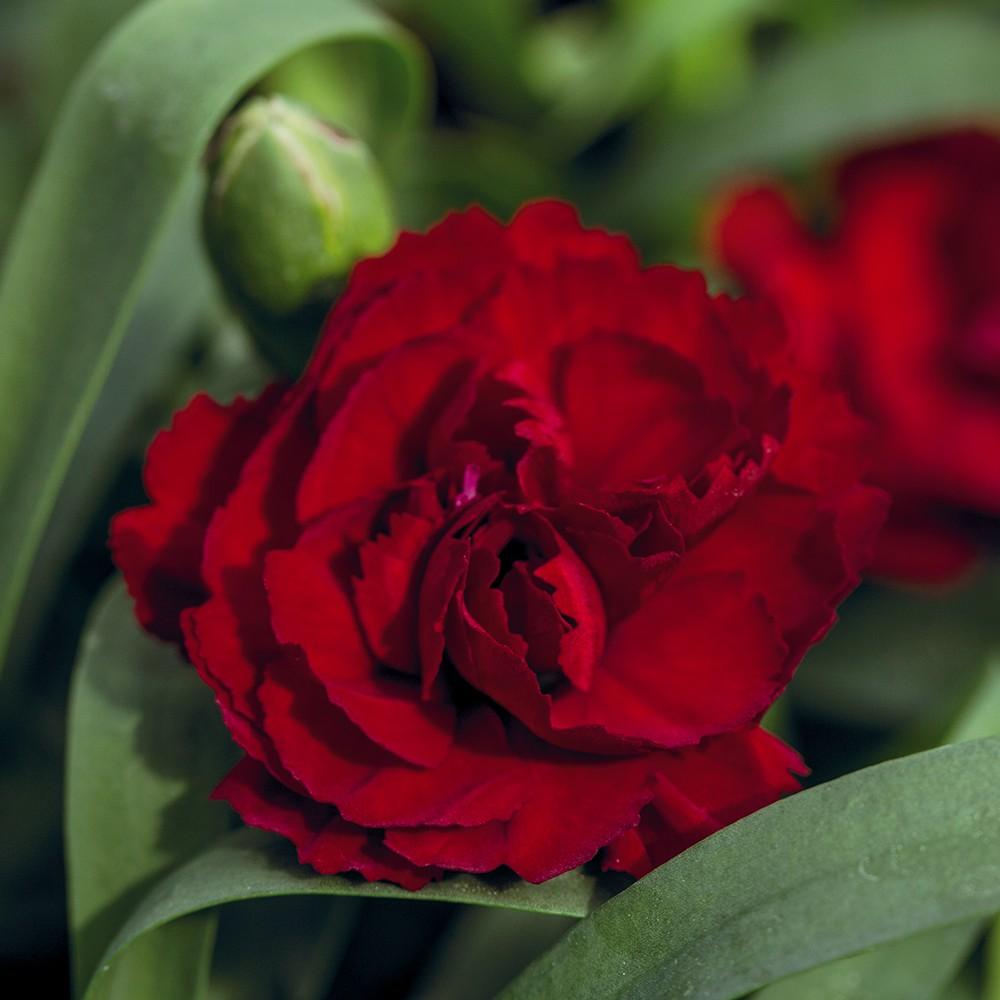 Nelke in Farben - Dianthus Dinamic Bild 1