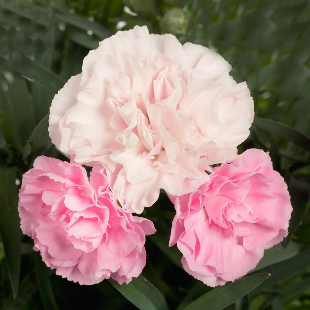Nelke in Farben - Dianthus Dinamic Bild 3