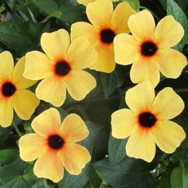 Schwarzäugige Susanne - Thunbergia Orange oder Gelb Bild 1