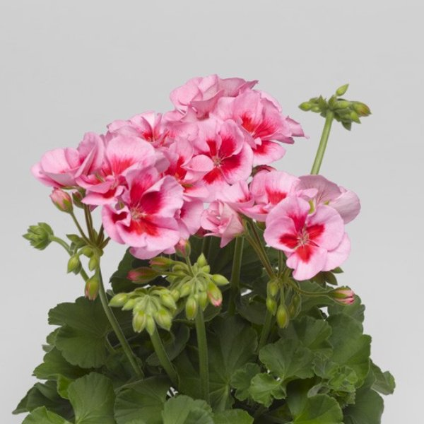 Geranie Caliope®  dunkelrot - Pelargonium interspecific Caliope(R) Bild 3