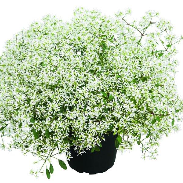 Zauberschnee- Euphorbia White Forst Bild 1