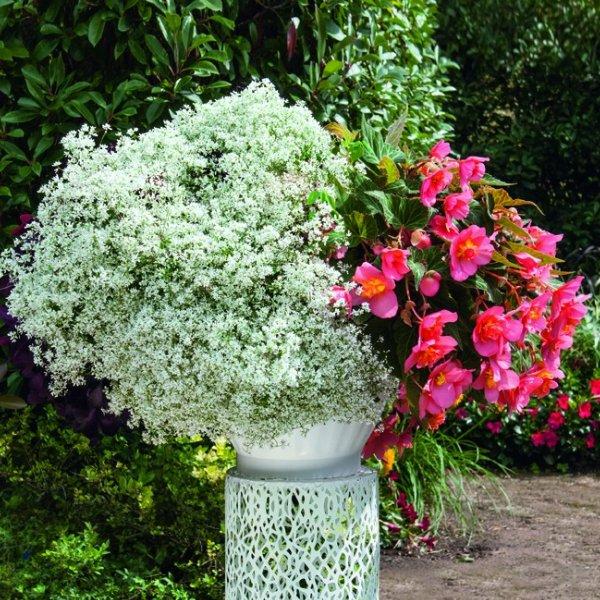 Zauberschnee- Euphorbia White Forst Bild 2