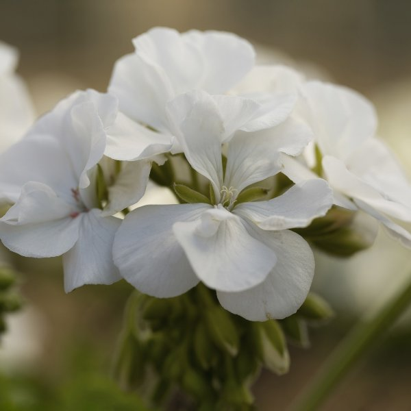 Geranie Caliope®  dunkelrot - Pelargonium interspecific Caliope(R) Bild 4