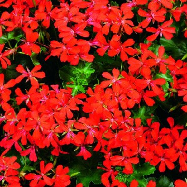Hangegeranie rot - Pelargonium Feuercascade Bild 1