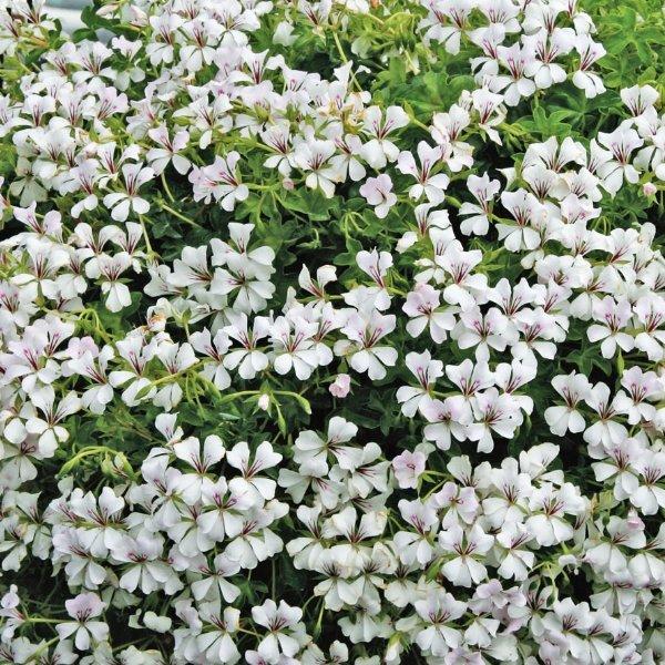 Hängegeranie weiß - Pelargonium Ville de Paris weiß Bild 1