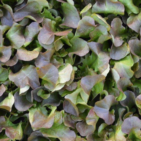 Eichblattsalat Bild 1