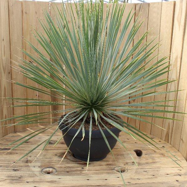 Blaublättrige Yucca Bild 1