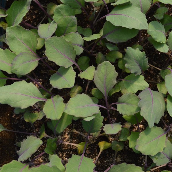 Kohlrabi blau Bild 1