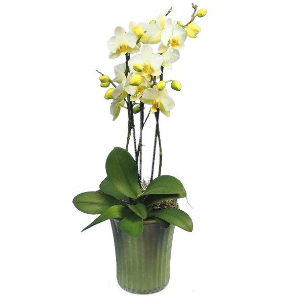 Phalaenopsis 3-rispig Bild 1