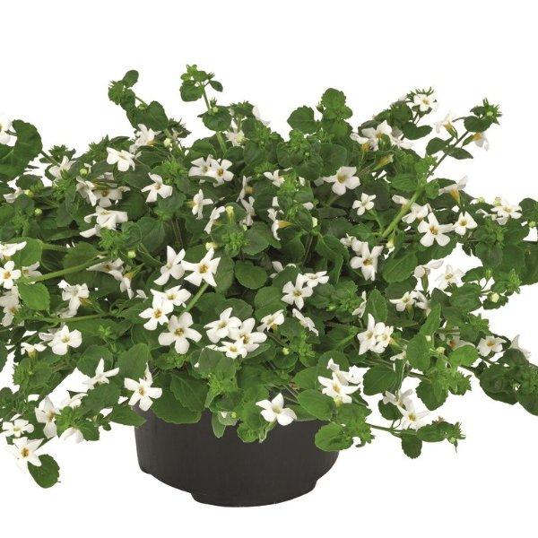 Schneeflockenblumen- Sutera Gulliver Dynamic White Bild 1