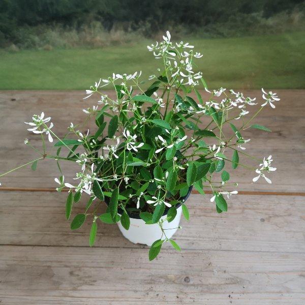 Zauberschnee/ Euphorbia 12cm Topf Bild 1