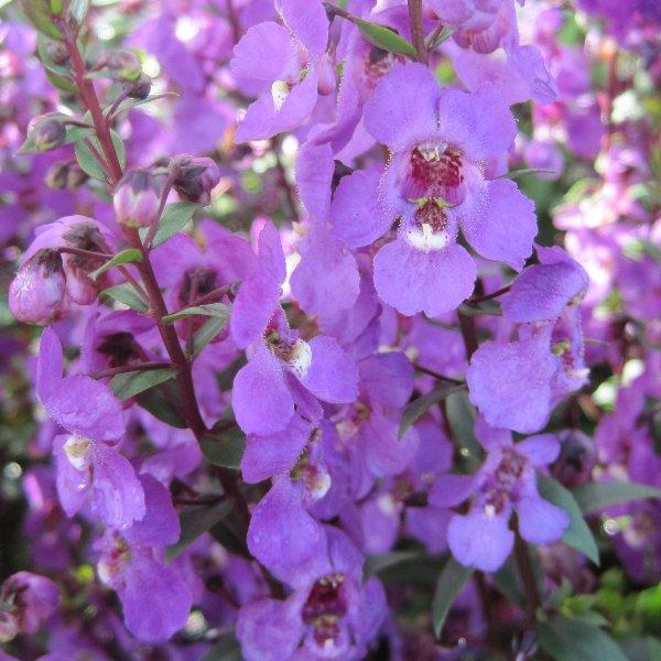 Engelsgesicht - Angelonia angustifolia Bild 1