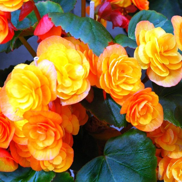 Elatior-Begonie - Begonia elatior Bild 1