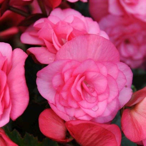 Solenia-Begonie - Begonia elatior Solenia Bild 1