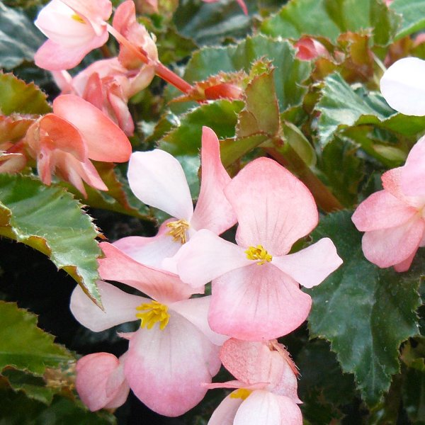 Richmond-Begonie- Begonia richmondensis Bild 1