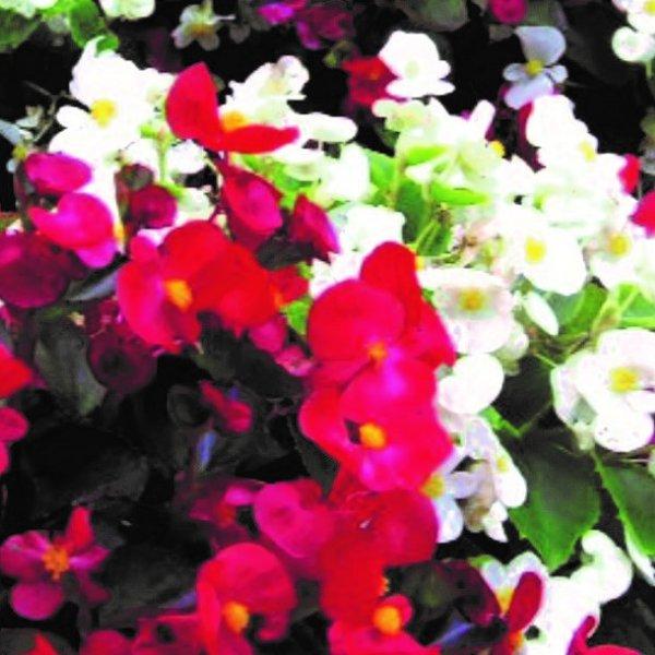 Beet-/ Eis-Begonie - Begonia semperflorens Bild 3