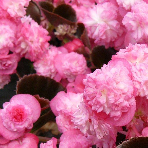 Beet-/ Eis-Begonie gefüllt - Begonia semperflorens doublette Bild 1