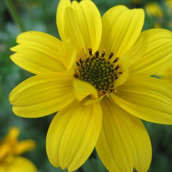 Goldmarie - Bidens ferulifolia Bild 1