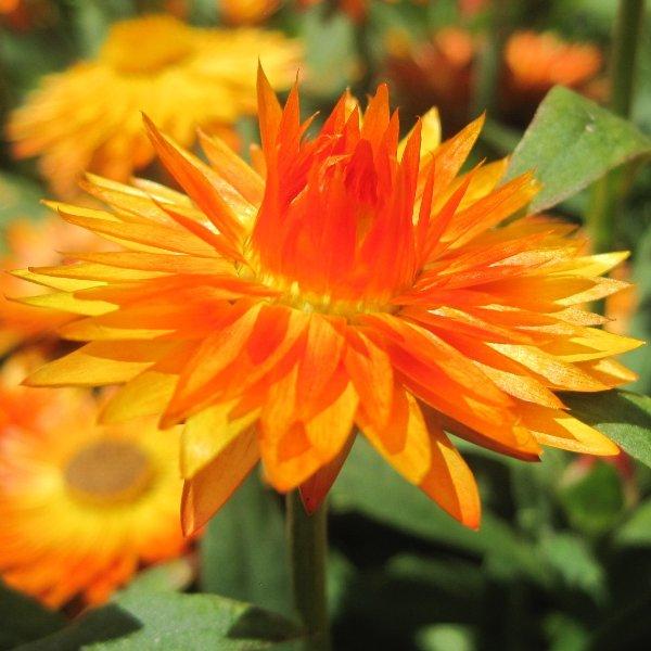 Strohblume - Bracteantha Bild 1