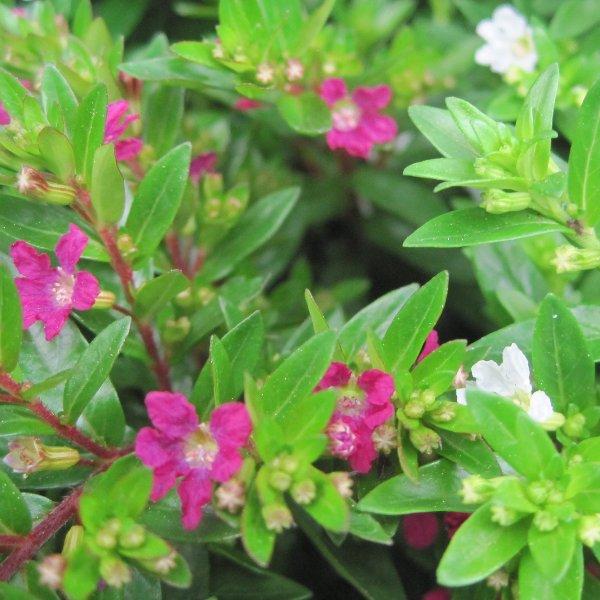 Japanische Scheinmyrthe - Cuphea hyssopifolia Bild 1