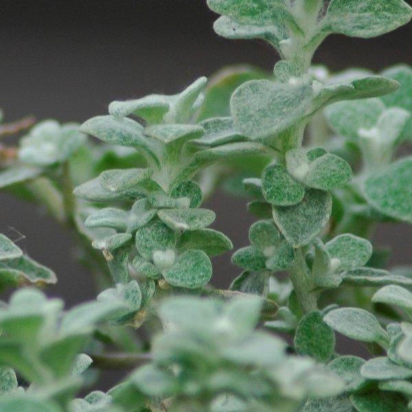 Gnaphalium/Lakritz-Strohblume - Helichrysum petiolare Bild 1
