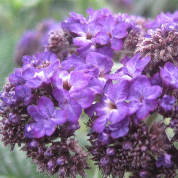 Vanilleblume - Heliotropium arborescens Bild 1