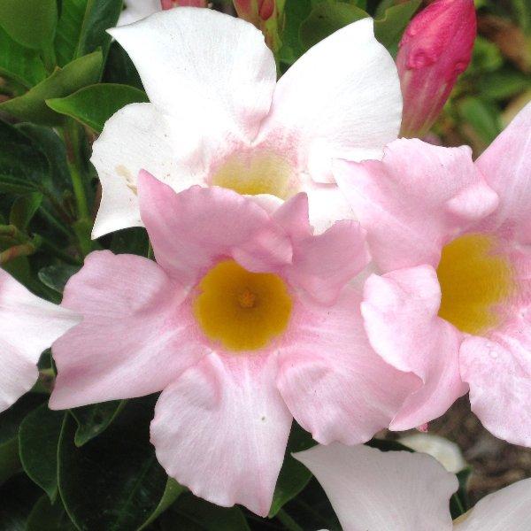 Tropidenia - Mandevilla sanderi-Hybride Bild 1