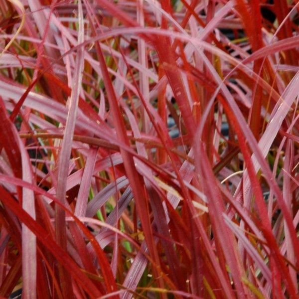 Rotes Federborstengras - Pennisetum setaceum `Rubrum´ Bild 1