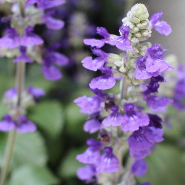 Salvia `Blue Honey´ - Salvia x hybrida Bild 1