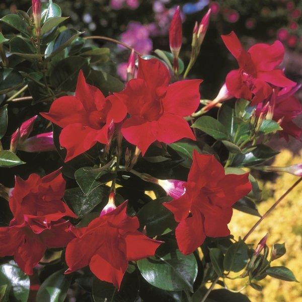 Trichterblüte - Dipladenia Bild 1