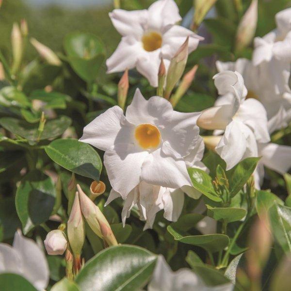 Trichterblüte - Dipladenia Bild 2