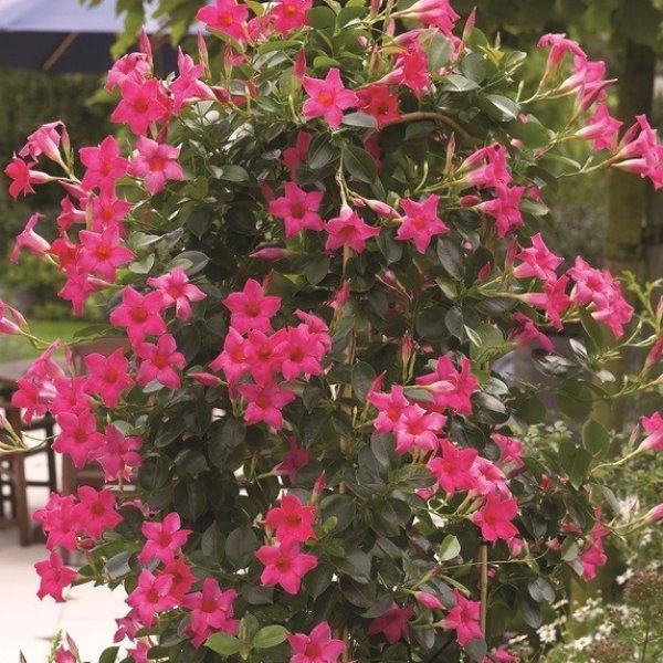 Trichterblüte - Dipladenia Bild 3