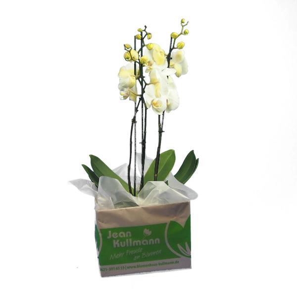 Phalaenopsis 3-rispig Bild 3
