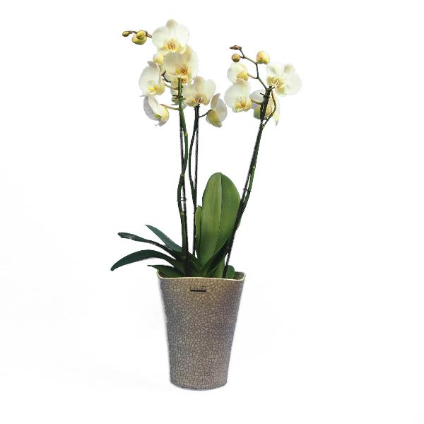 Phalaenopsis 3-rispig Bild 4