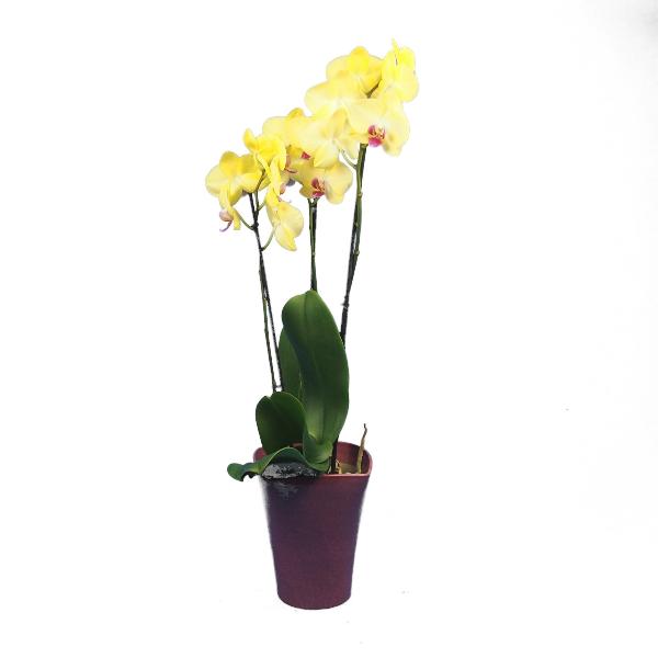 Phalaenopsis 3-rispig Bild 5