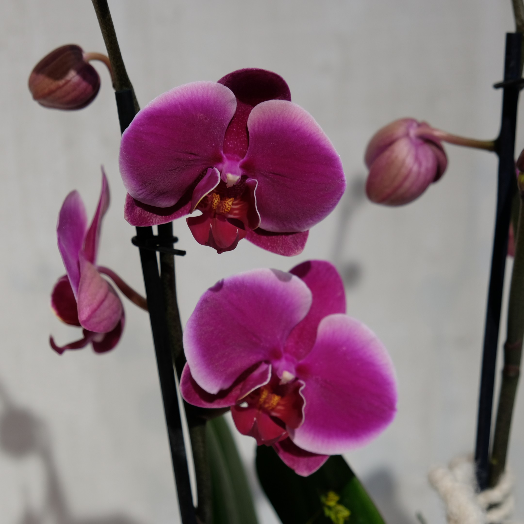 Orchidee Bild 5