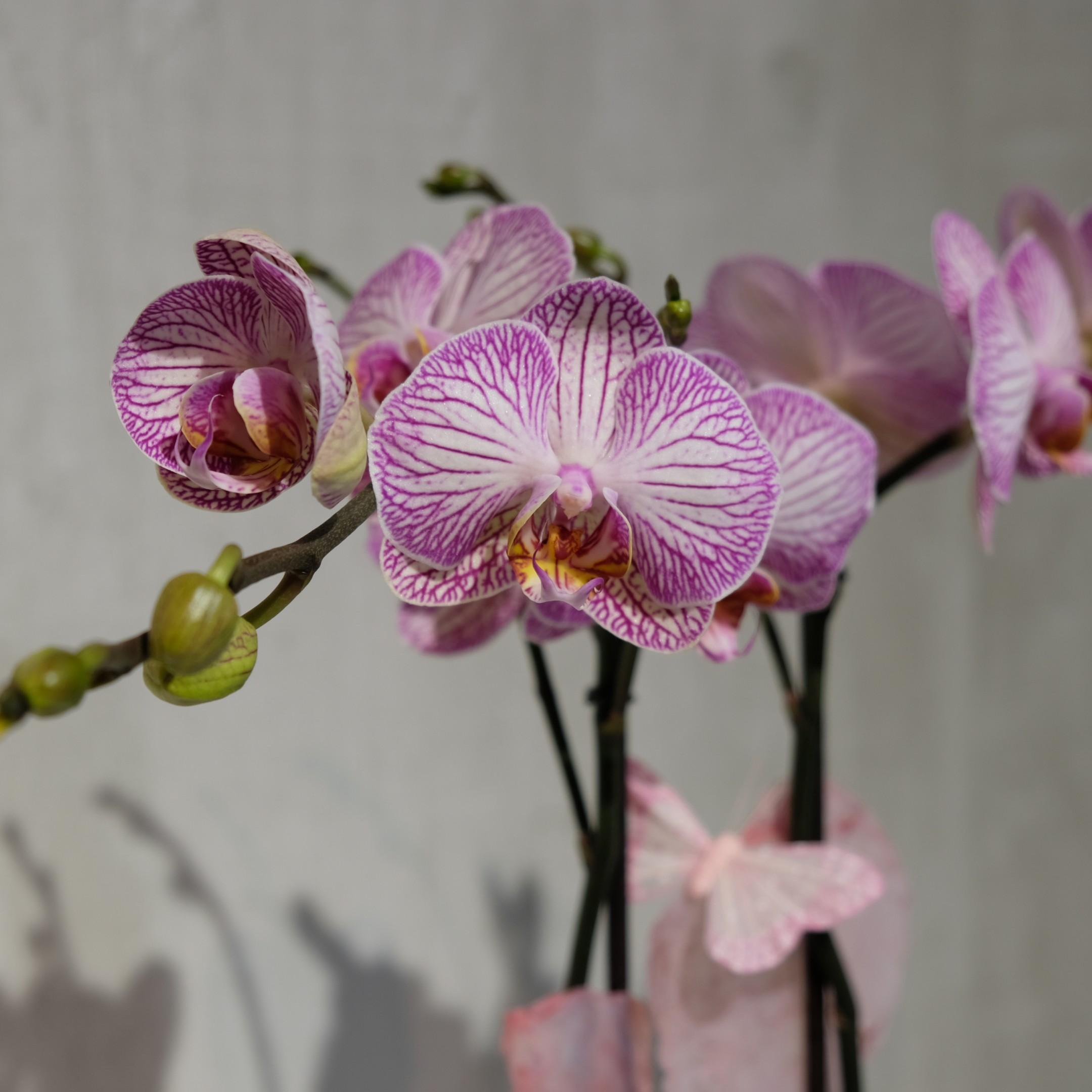 Orchidee Bild 3