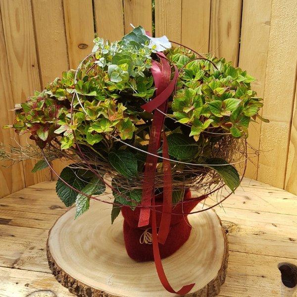 Hortensie grün/rot Bild 1