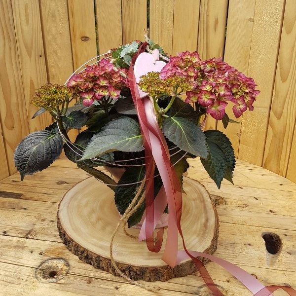 Hortensie pink Bild 1