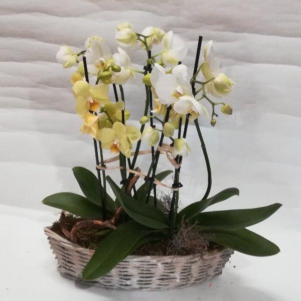 K 7  Korb mit Phalaenopsis Bild 1