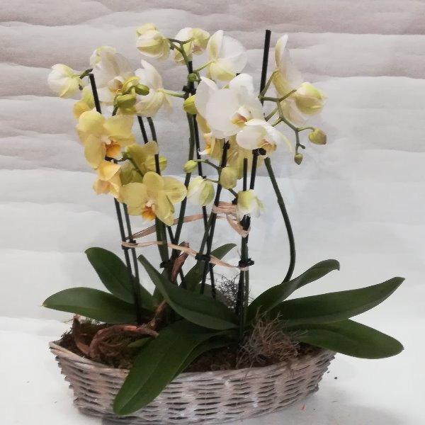 K 7  Korb mit Phalaenopsis Bild 2
