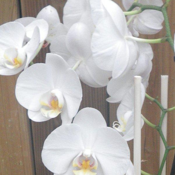 Orchidee im Umtopf mit Schmuck Bild 2