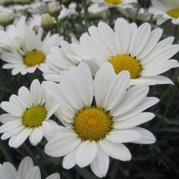 Strauchmargerite - Argyanthemum frutescens Bild 1