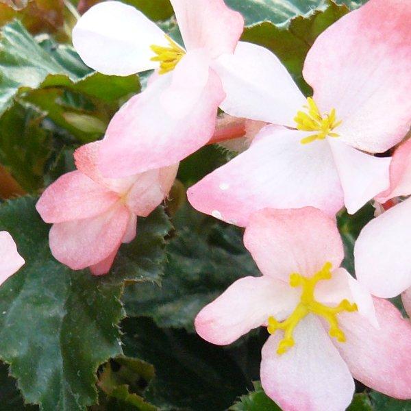Richmond-Begonie - Begonia richmondensis Bild 1