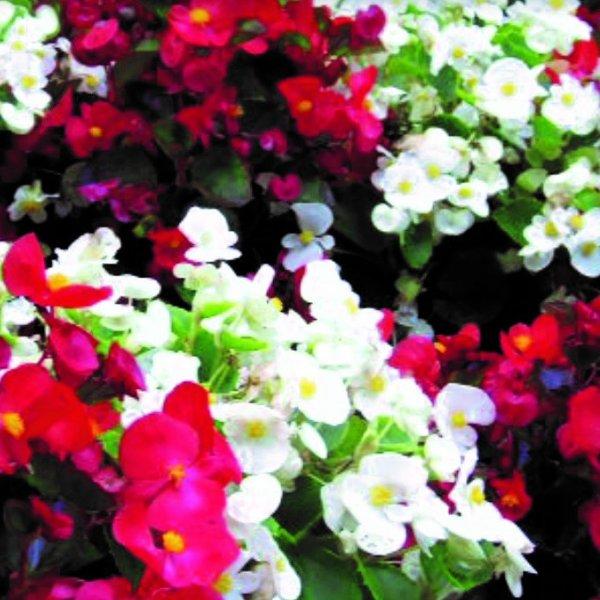 Beetbegonie - Begonia semperflorens Bild 1