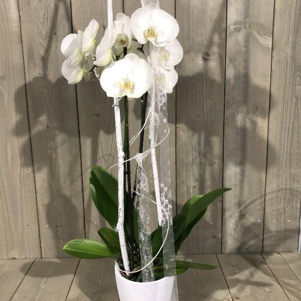 Orchidee mit Übertopf Bild 2